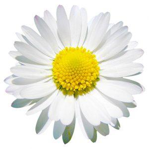 Daisy Symbol of Kent Hypnotherapist Associates, Rochester, Strood, Chatham, Gillingham, Rainham, Sittingbourne, Maidstone